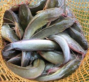 Teknik Pembesaran Ikan Lele Dengan Waktu Singkat