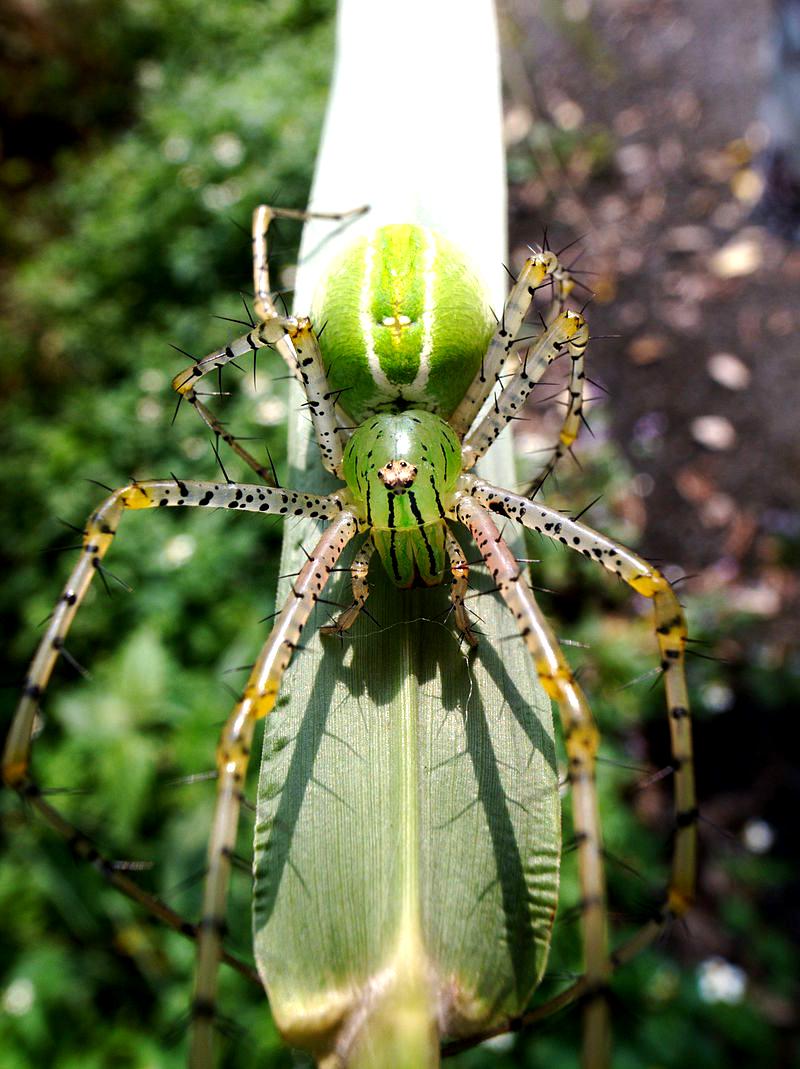 https://upload.wikimedia.org/wikipedia/commons/thumb/3/31/Peucetia-formosensis-female.jpg/800px-Peucetia-formosensis-female.jpg