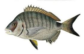 Billedresultat for white sea bream wiki