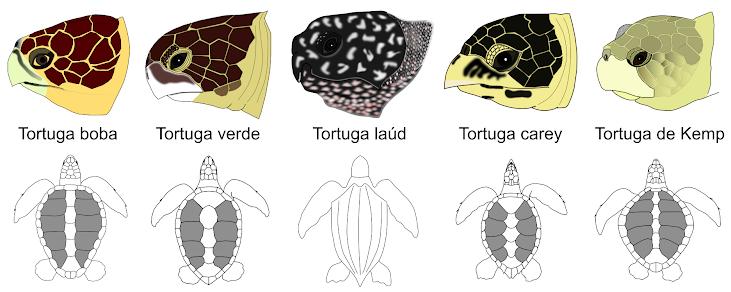 Representación de los perfiles de cabeza y vista dorsal de cuerpo y cabeza (en gris se destacan los escudos costales, excepto en la tortuga laúd, que carece de ellos).
