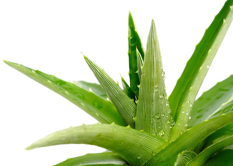 aloe-plant.jpg