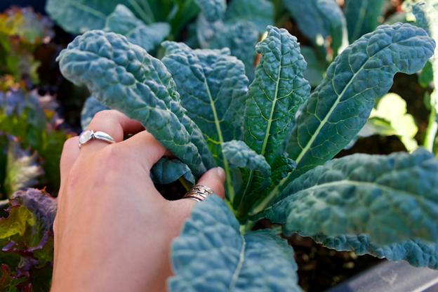 Your Guide to Growing Kale Indoors 3
