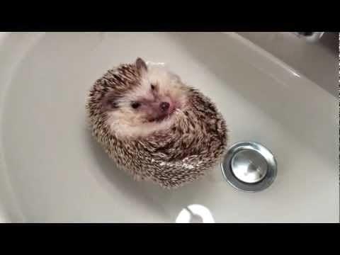 ผลการค้นหารูปภาพสำหรับ เม่นแคระ อาบน้ำ