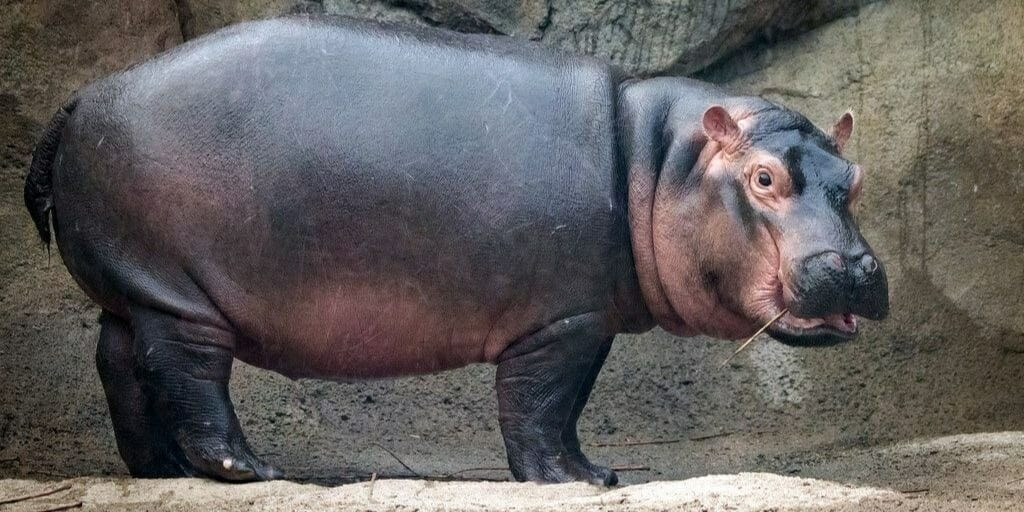 Image result for hippo