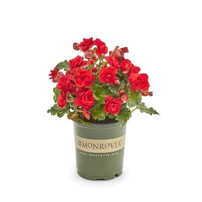 Begonias in pot