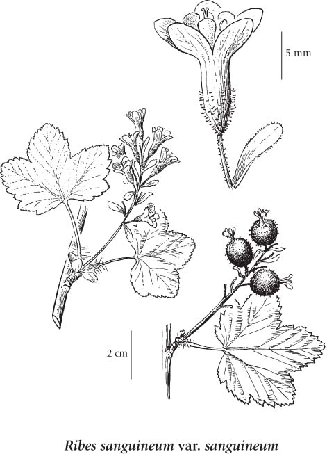 Image result for red flowering currant drawing