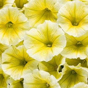 Supertunia® Limoncello - Petunia hybrid