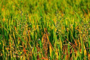 Weeds after a herbicide application.