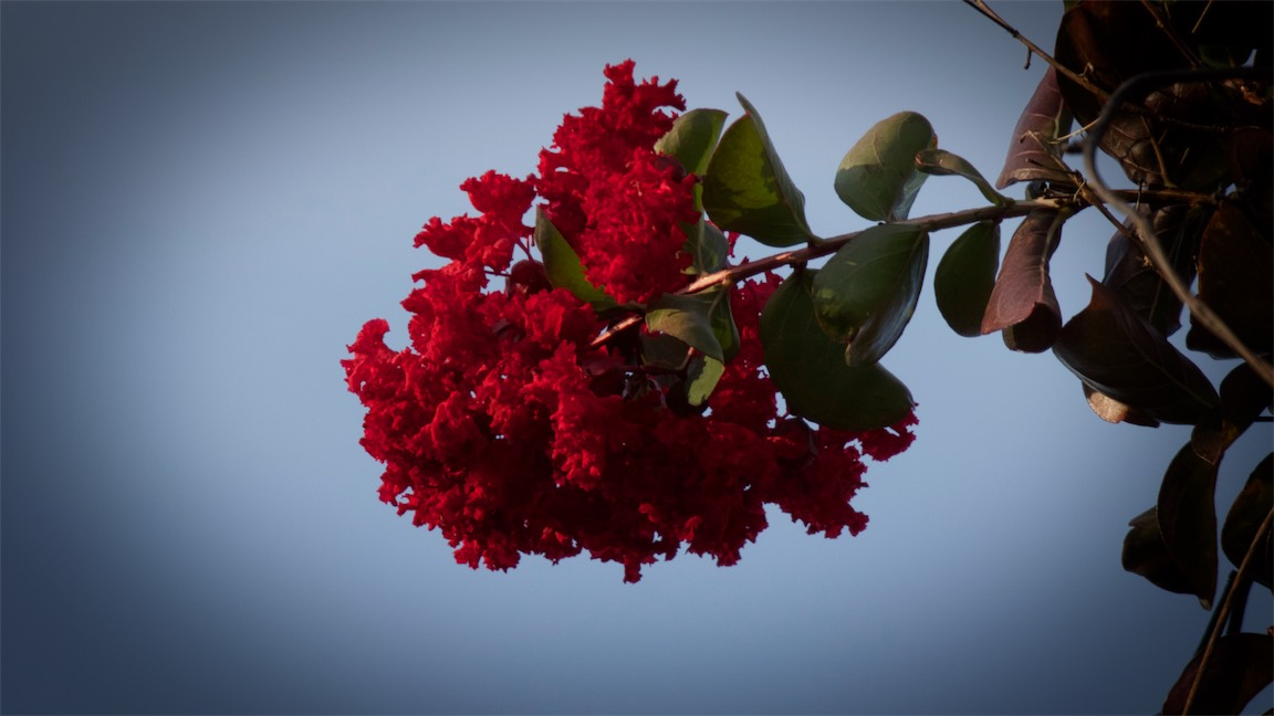 Crepe Tree .jpg