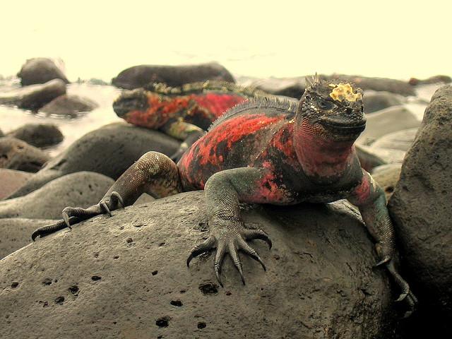 Ecuador: Kimodo dragon on a rock.