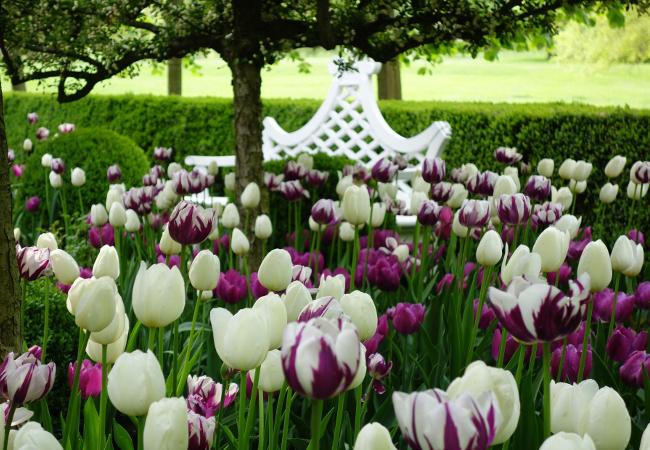 Тюльпаны 6.jpg