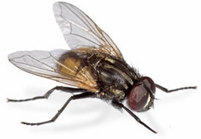 http://www.canarias7.es/blogs/ventanaverde/mosca.jpg