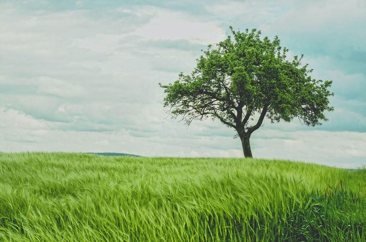 A tree in a field  Description automatically generated with medium confidence