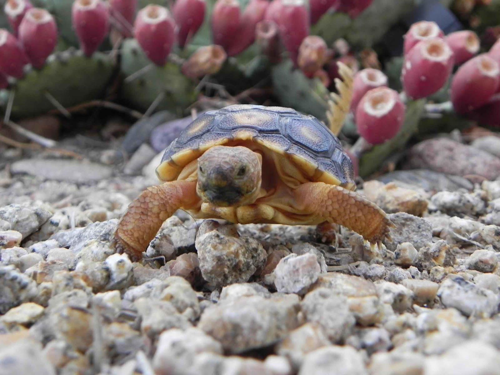 File:Desert tortoise turtle