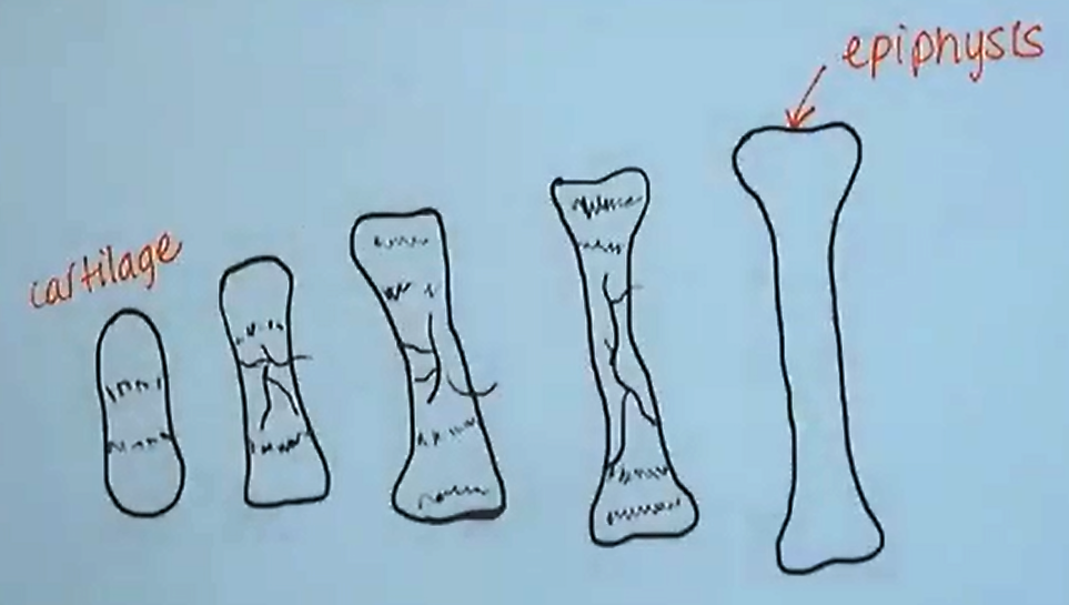 Bone Growth (2).png