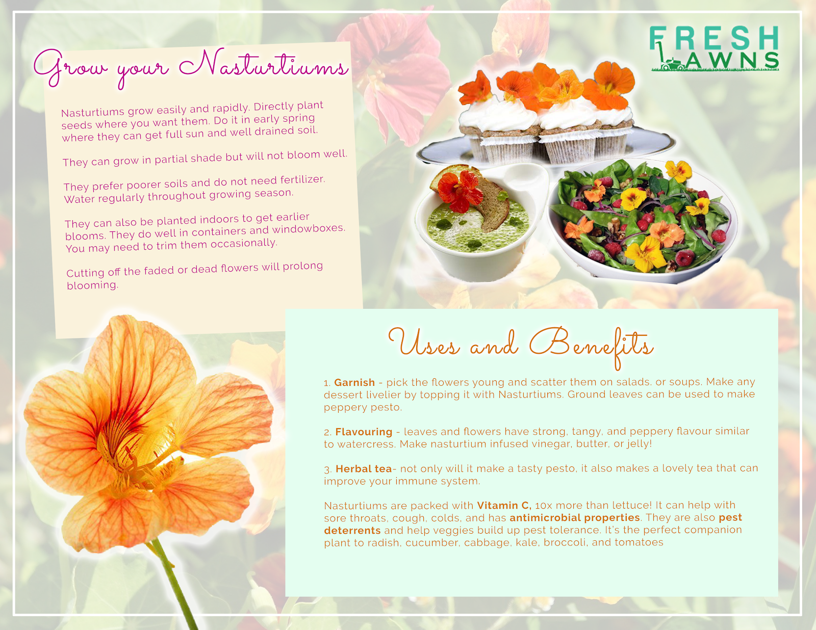 infographic for nasturtiums edible flowers