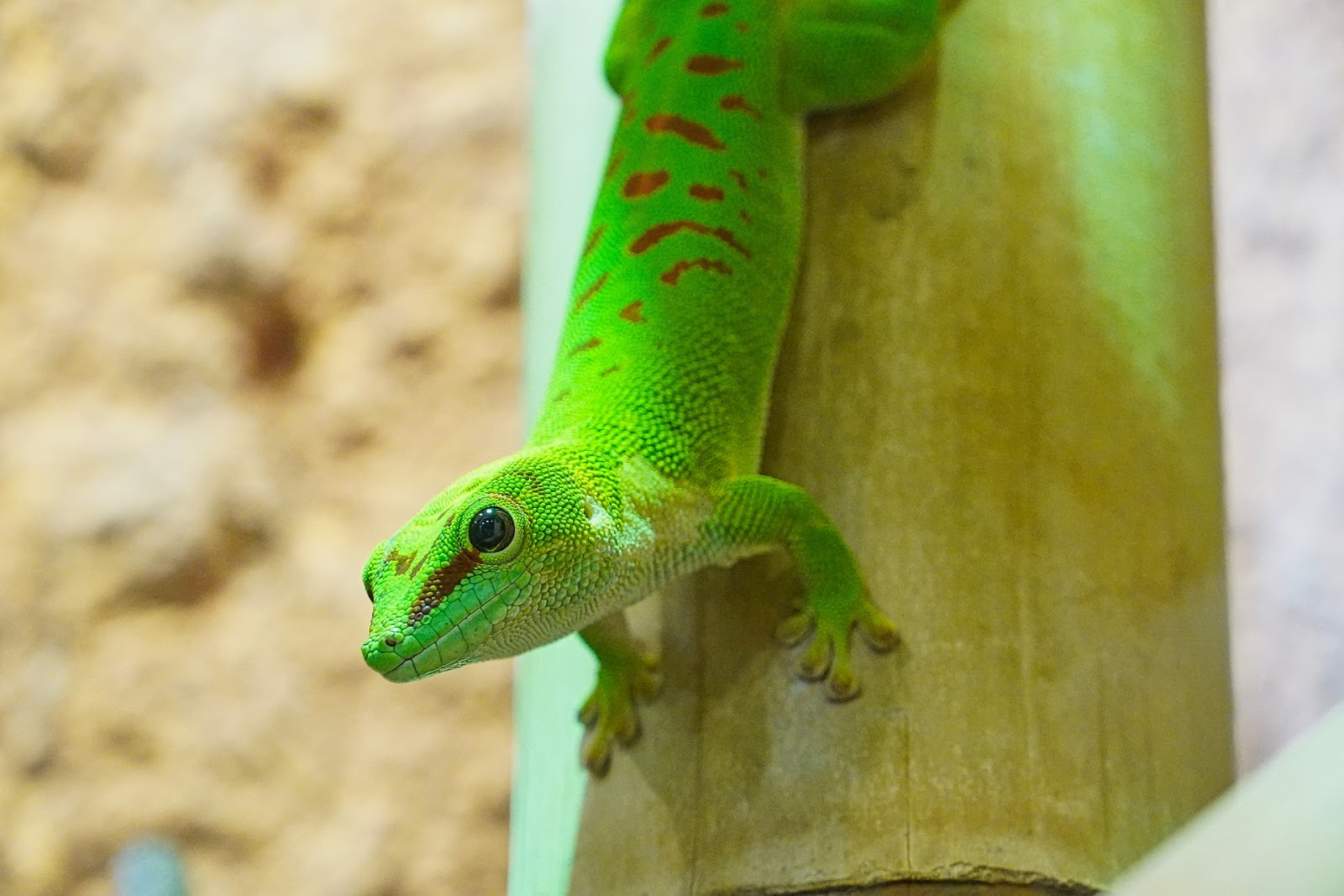 Gecko in terrarium
