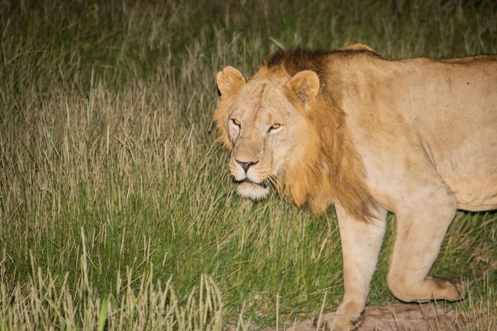 Male lion walking out of the bush - photo by Ryan Frederick Wiramidjaja