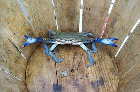Image: blue crab alone and cornered in the bottom of a basket