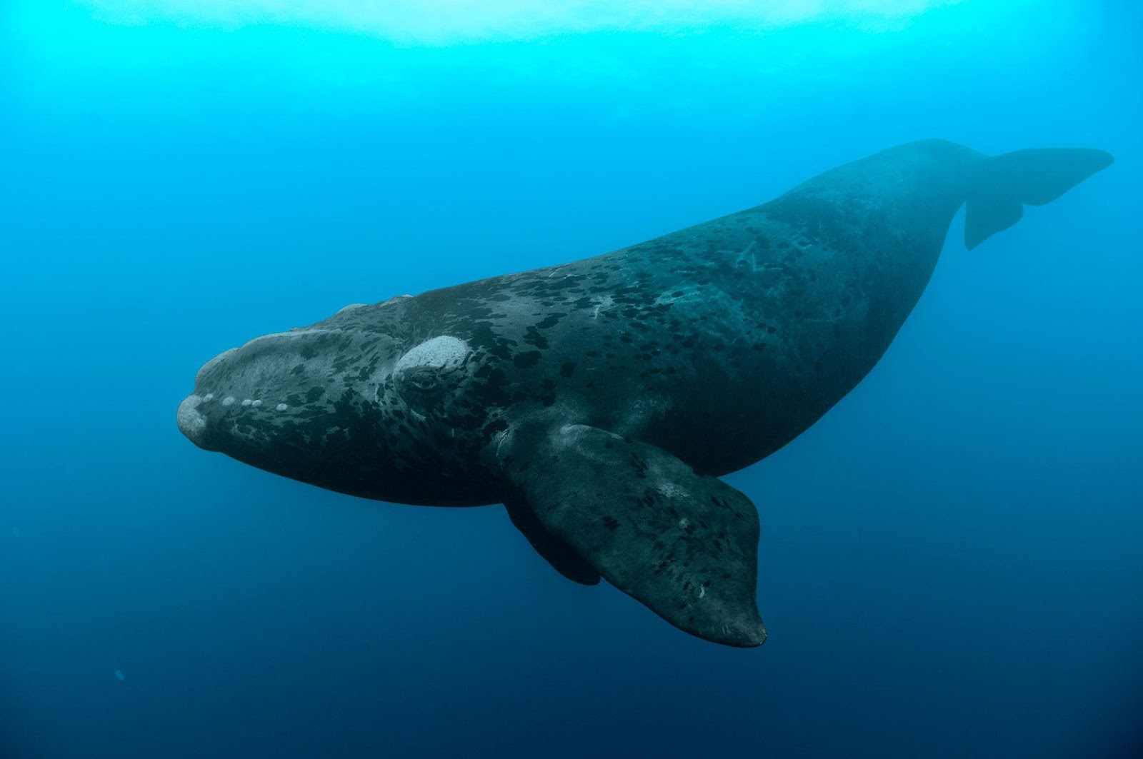 First North Atlantic Right Whale To Be Found Dead This ...