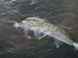 Бели риби по буната