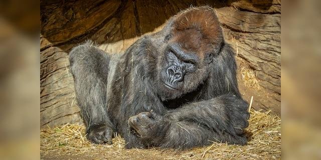 """The gorillas are said to be doing well aside from """"some congestion and coughing."""""""