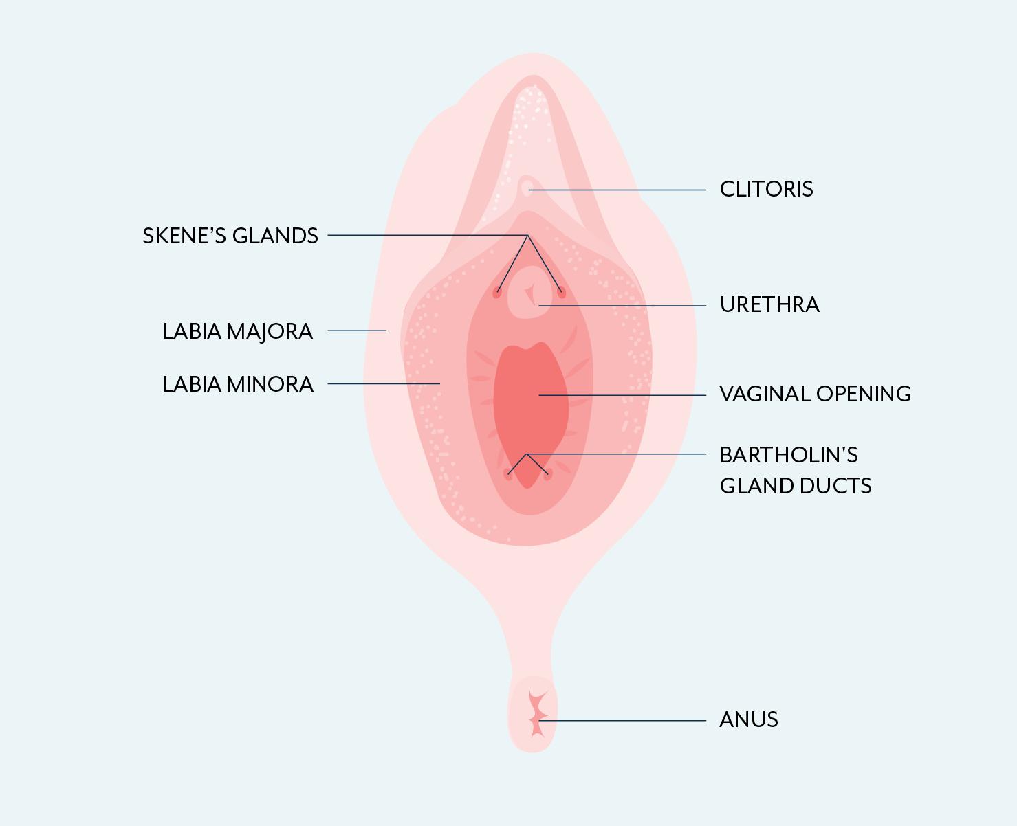 Skene's gland anatomy