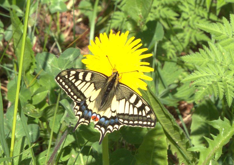 swallowtail_rsz.jpg