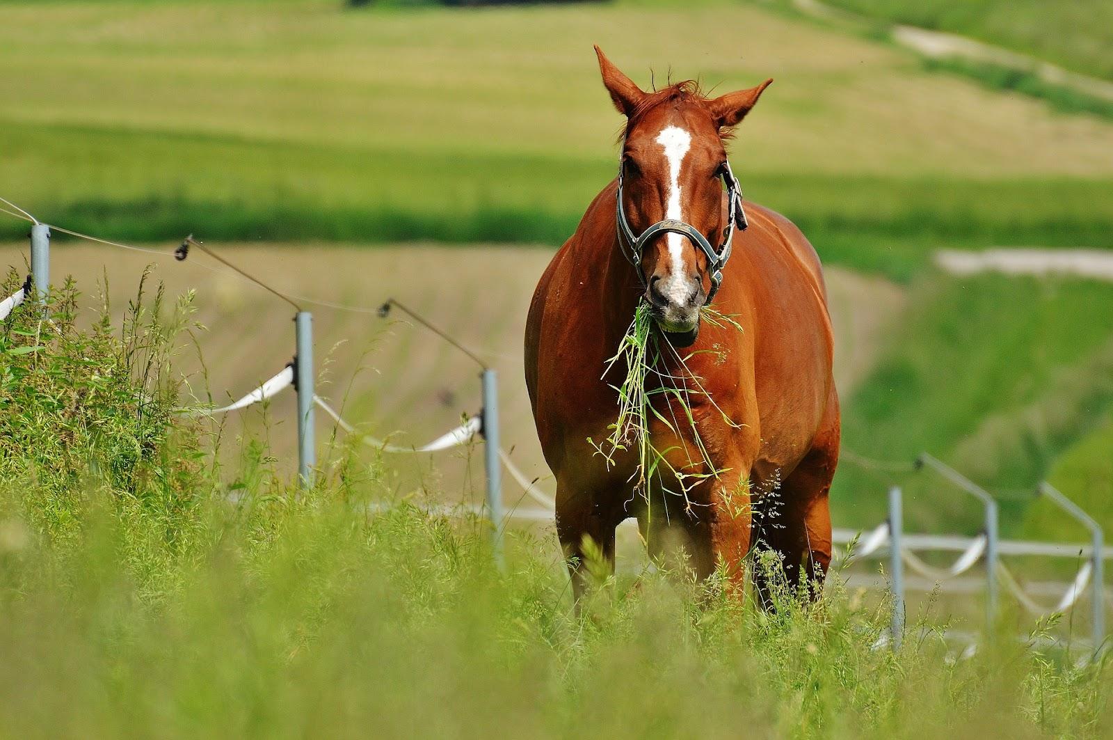 A chestnut horse grazes in a field
