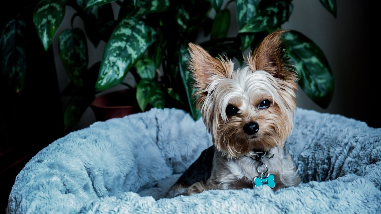 Why Do Yorkies Scratch Their Beds?