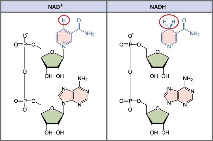 Image result for nad+