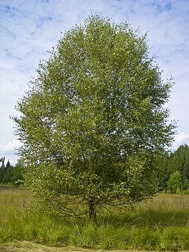 Betula pubescens - Burgwald 002.jpg