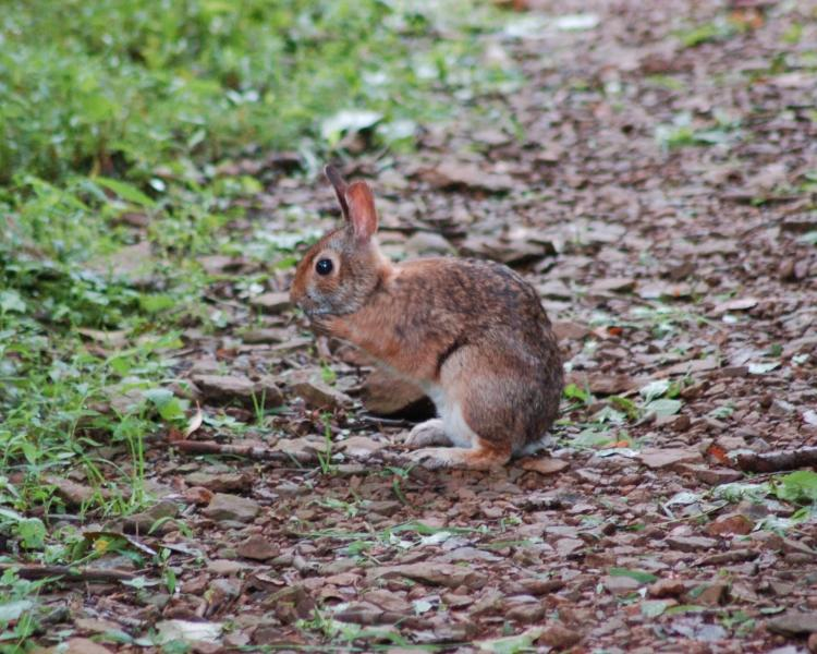 Image result for appalachian cottontail eating