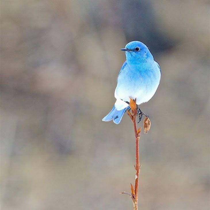 9. Mountain Blue Bird
