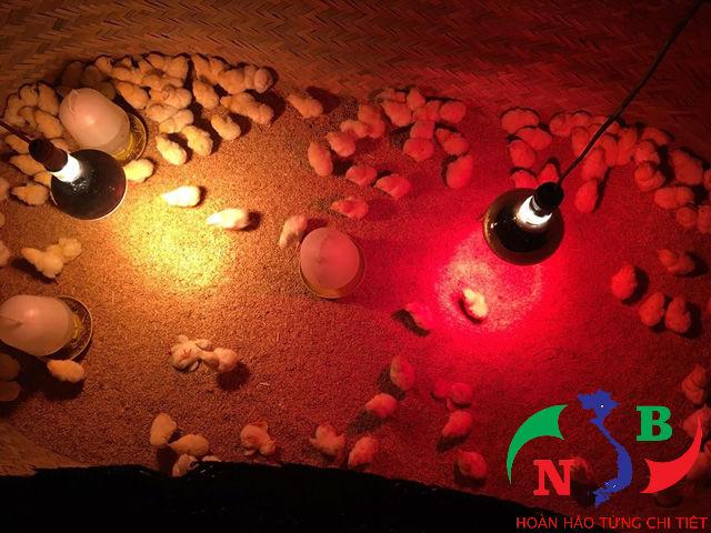 5 lưu ý khi sử dụng đèn úm hồng ngoại trong chăn nuôi