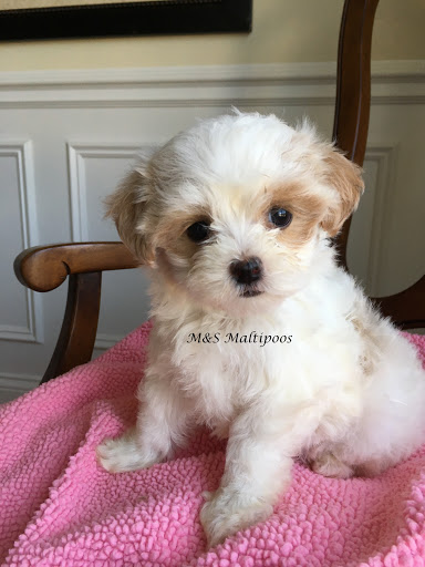 MS Maltipoos - Dog Breeder in Mokena