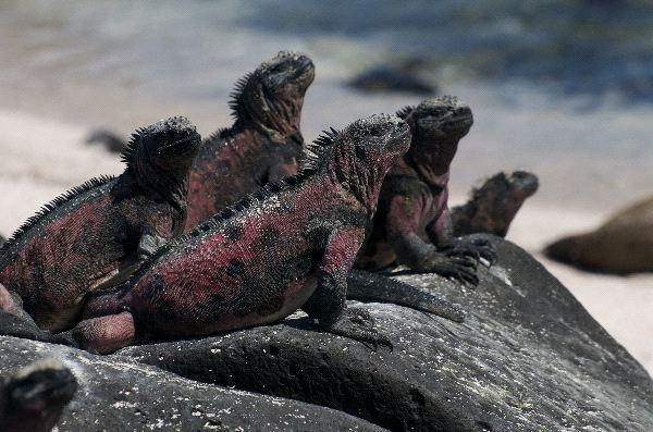 Image result for MARINE IGUANA BEHAVIOR