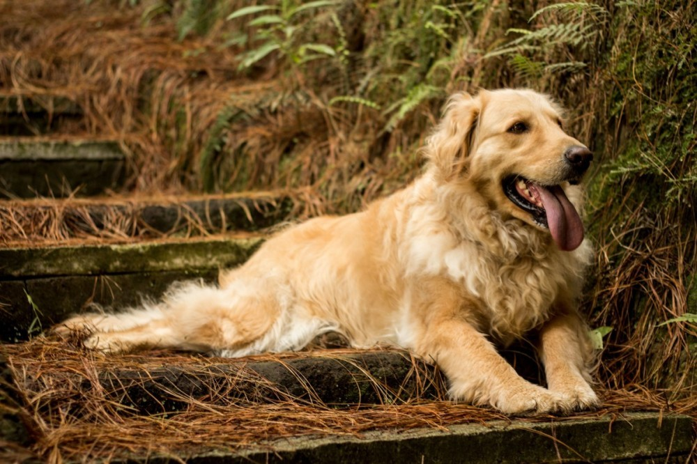 golden retriever lying-down
