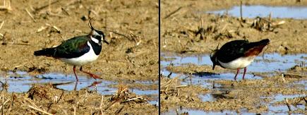 Fredeluga (Vanellus vanellus)