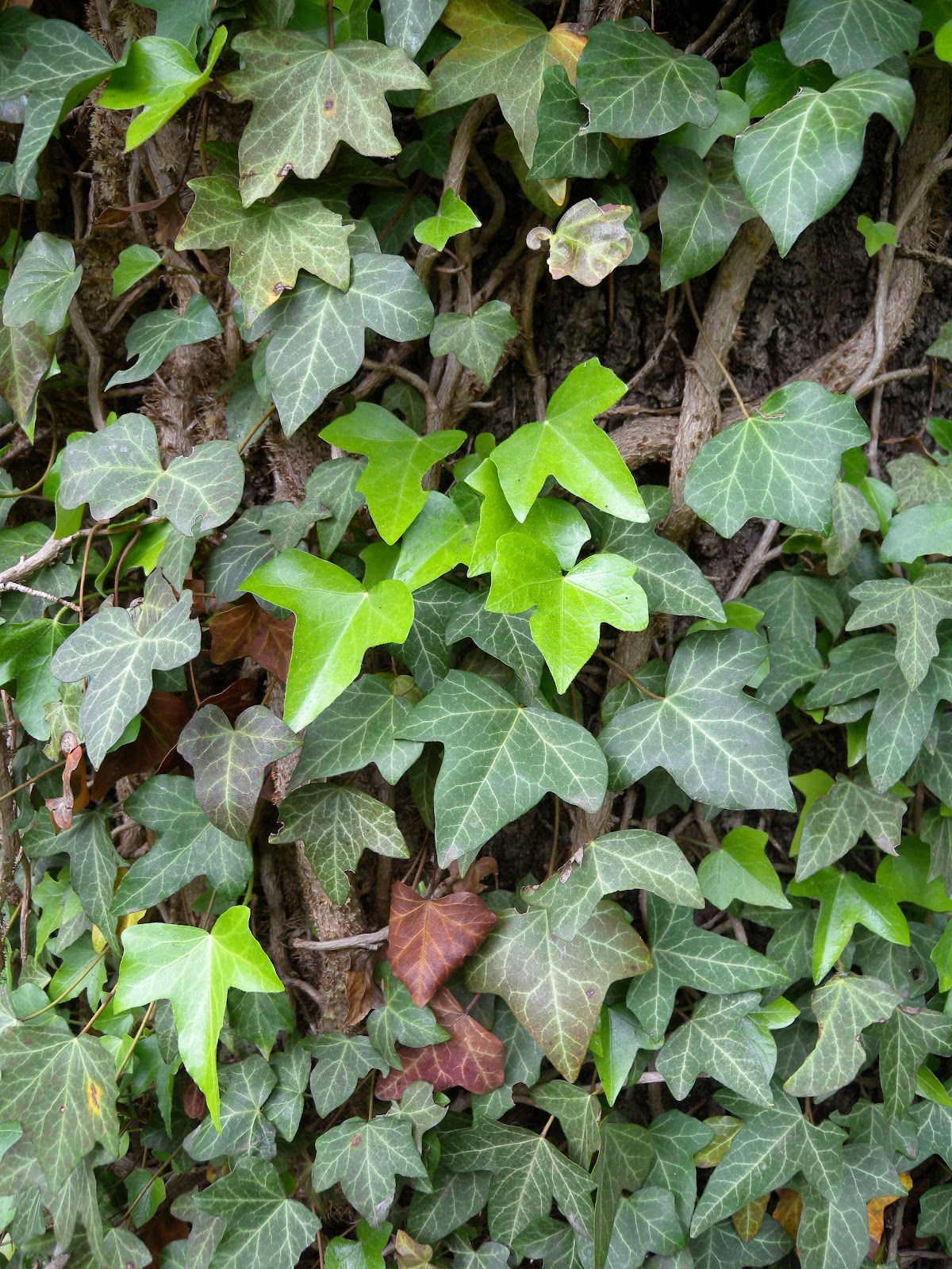 Hedera helix juvenile leaves.jpg