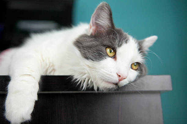Bored Cat Hanging On Edge Of Desk stock photo
