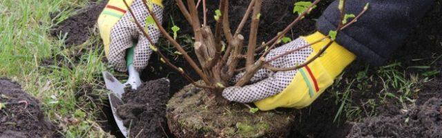 Риски пересадки вишни