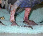 Signs of self-mutilation in an African Grey.