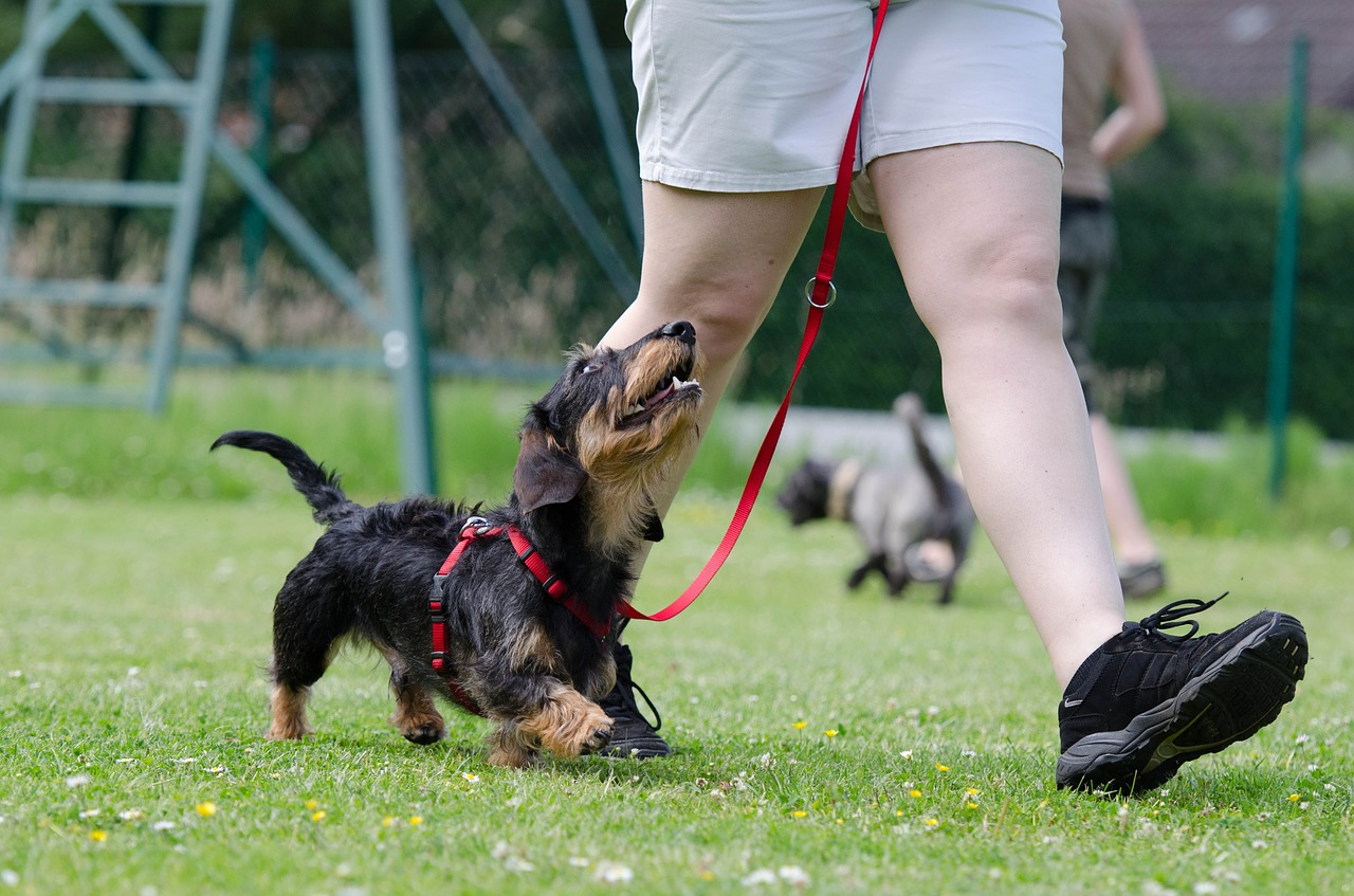 Dog owner teaching dog to heel    How to Choose the Perfect Dog Trainer.