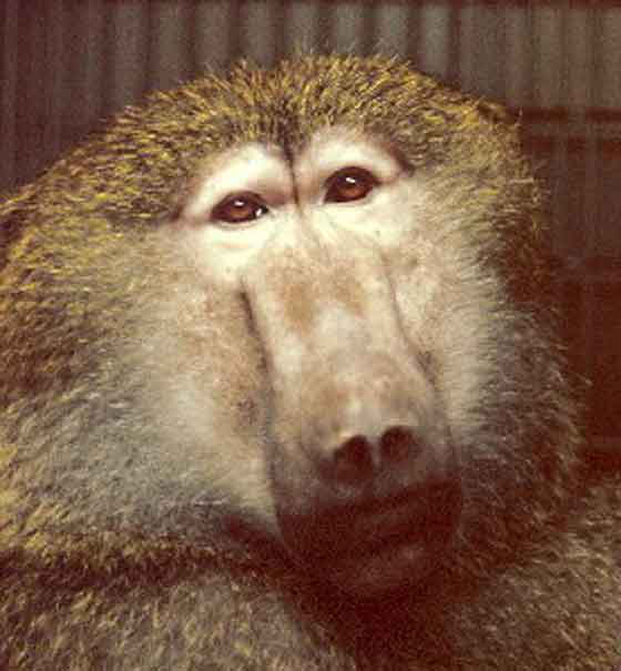 Papio anubis (Adult male olive baboon) [11]