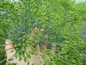 Dill is also easily saved, shared and will be sown for generations to come!
