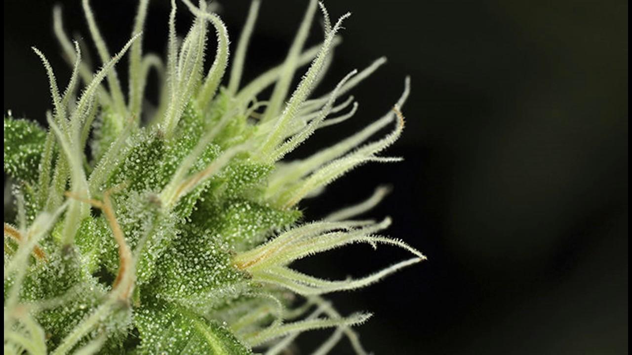 grow cannabis indoors growing marijuana weed cannabis grow tent box