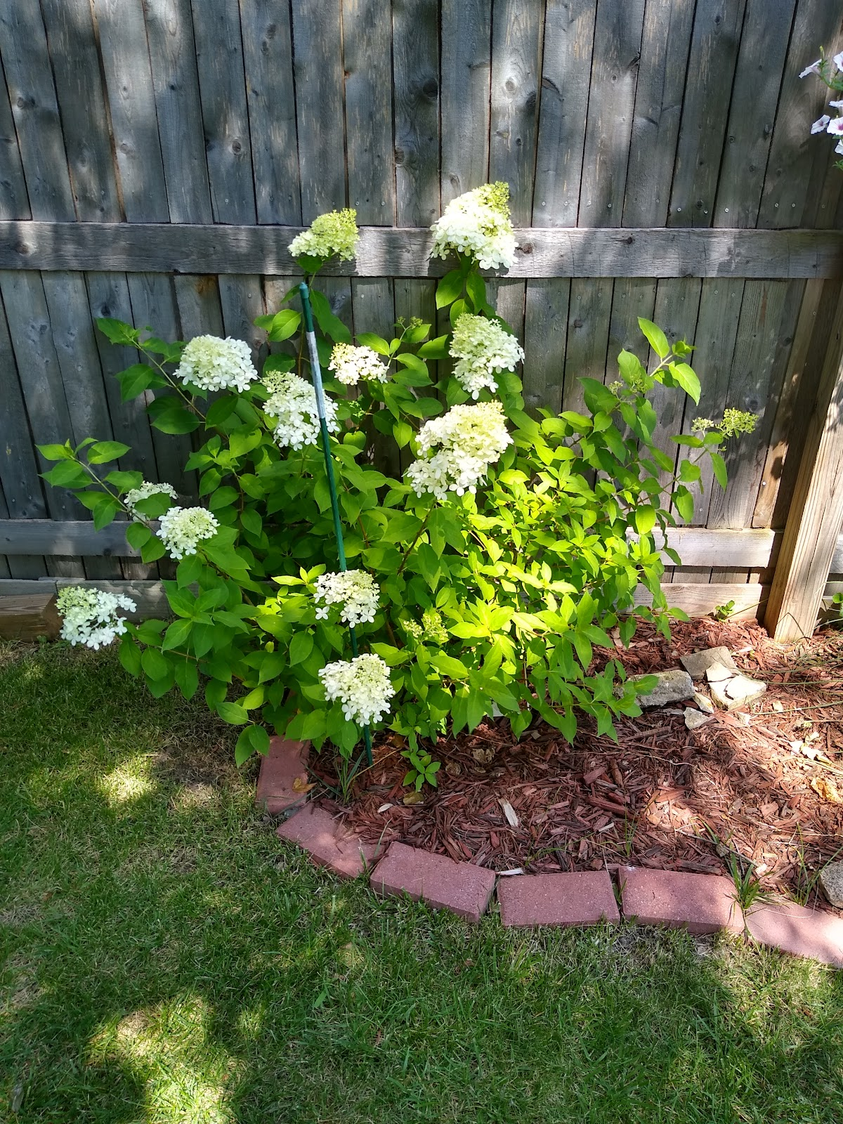 limelight hydrangea picture