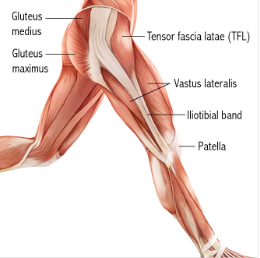 Image result for muscle anatomy running