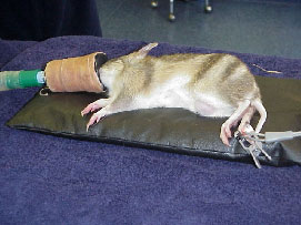 Anaesthetic induction of an Eastern Barred Bandicoot.